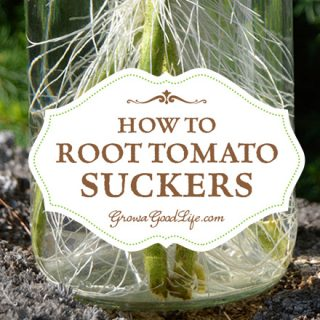 How to Root Tomato Suckers and Grow New Plants