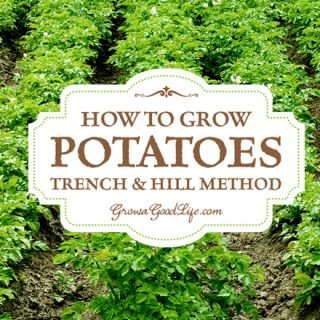 Growing potatoes using trench and hill method involves digging trenches, planting seed potatoes, and hilling the potato plants as they grow. This is the traditional method of growing potatoes that farmers have used for centuries only scaled down for the backyard garden.